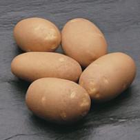 Семенной картофель Innovator