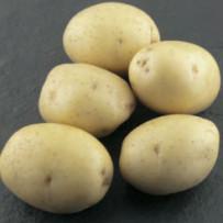 Семенной картофель Colomba