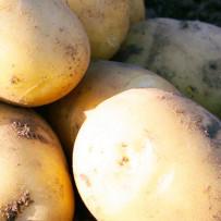 Семенной картофель Nandina