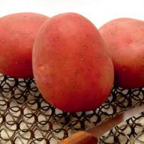 Семенной картофель Red Sonia