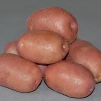 Семенной картофель Red Scarlett